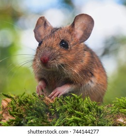 Field Mouse (Apodemus sylvaticus) in Natural Habitat forest setting