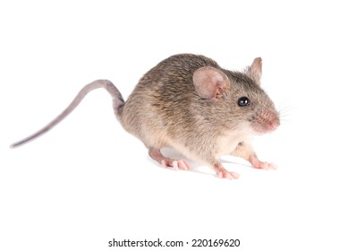 Field Mouse. isolated. striped field mouse