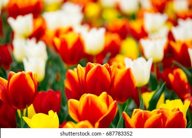 Field of multicolor tulip flowers with shallow depth of field for back ground copy space