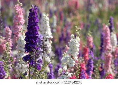Field of multicoloured delphinium flowers in Wick, Pershore, Worcestershire, UK. The petals are used to make wedding confetti. Photographed on a fine summer's day.