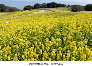 Field mustard of Awaji Island in Japan