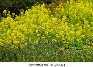 Field mustard , Brassica napus, (Nanohana) - Shutterstock ID 1419271124