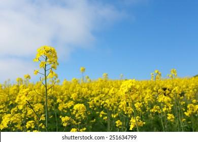 field mustard / rape blossoms