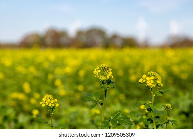 Field mustard, a yellow plant on a field that grows in the fall