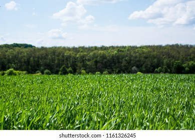Field, nature. Rural agriculture. Growth of green cultivated plant in summer, spring on the farm. Food industry. Outdoor scene with land, sky. Season of farming. Row, meadow under sunlight.