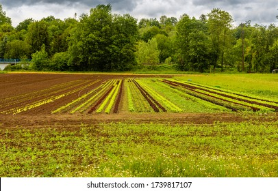 A field near the forest. Cultivation of edible plants. Food production. Farm out of town. Organic farming. Bio vegetables. Good things. Young vegetables. Plowed agricultural land.