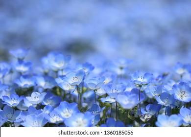 Field of nemophila flowers, small and  blue flowers.