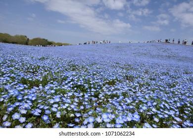 The field of nemophila flowers.This place is Hitachi Seaside Park.Hitachinaka Ibaraki Japan.The middle of April.