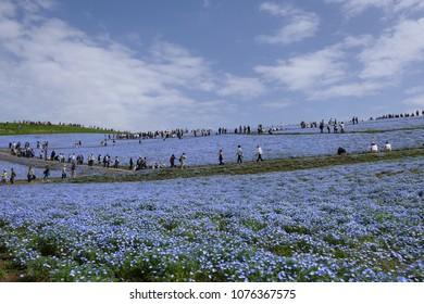 A field of nemophila in Hitachi Seaside Park.Hitachinaka Ibaraki Japan.The middle of April.