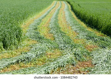 field of new green corn, agriculture landscape