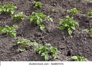 The field of new potatoes after an earthing up