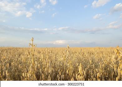 Field of oats against a blue sky with clouds.