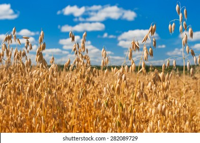 field of oats in front of a blue sky. Harvest season