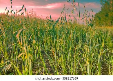Field of oats, north field of oats in early morning hours, sun dries dew. Breakfast oatmeal. English oatmeal
