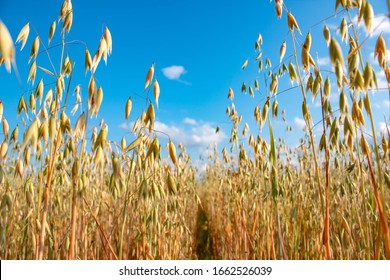 Field of oats on a sunny summer day. Agriculture concept.