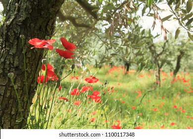 field of olive trees and poppies