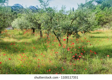 field of olivetrees and poppies