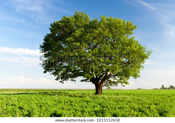 a field on which grows one beautiful tall oak tree, a summer landscape in sunny warm weather