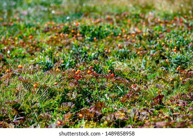 A field of orange bakeapple berries.  The berries have a red leaf and stand out among the green low laying shrubs.