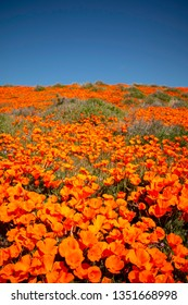 Field of orange California poppies during a super bloom.