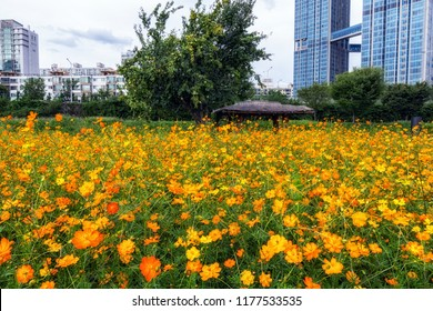 field of orange colored cosmos flowers in ichon hangang river park in seoul, south korea