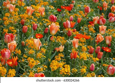 Field with orange and red flowers. Wallflower, Erysimum cheiri, tulip and poppy.