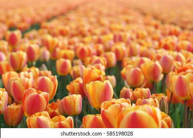 Field of orange tulips at the peak of their bloom