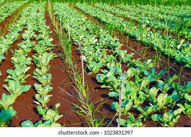 Field of organic cauliflowers, species Brassica oleracea near Pune, Maharashtra
