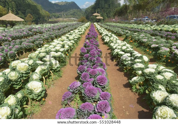 Field Ornamental Cabbage Decorative Cabbage Kale Stock Photo Edit