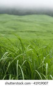 Field of pampas grass in Hakone, Japan.