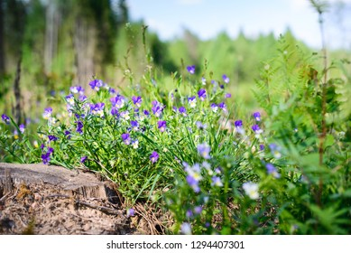 Field pansy (viola arvensis) in wild nature.