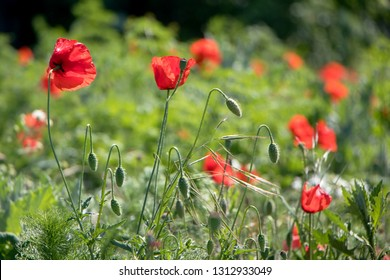 Field of Papaver rhoeas (common names include common poppy,corn poppy, corn rose, field poppy, Flanders poppy, red poppy, red weed, coquelicot, headache and headwark)