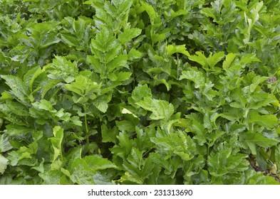 Field of parsnip (Pastinaca sativa)