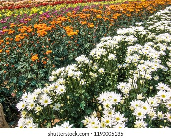Field of perfect  gerbera's in beautiful full blossom in Holambra, Brazil