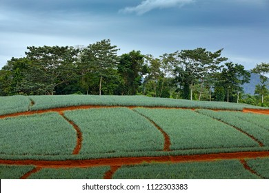 Field of pineapple fruit, Puerto Viejo, Costa Rica. Stormy landscape with fields and tree forest in the background.  Agriculture farm in Central America, dark grey sky.