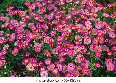 Field of pink daisies, colorful flowers