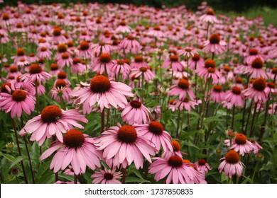 field of pink echinacea coneflowers in summer garden