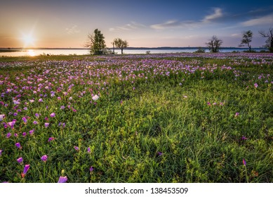 Field of Pink Evening Primrose lit by early morning sunshine