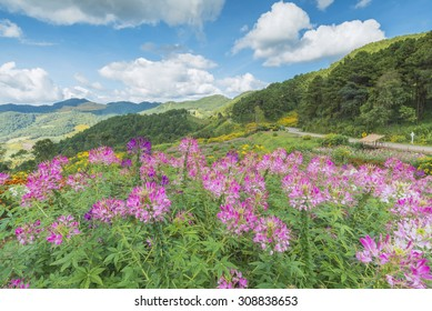 field of pink flowers and blue sky