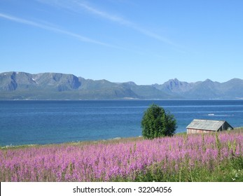 Field of pink flowers - fireweed. Landscape of Norway. Vesteralen archipelago.
