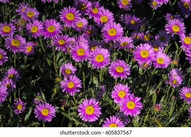 Field of pink flowers of rose Alpine Rock Aster, (Aster alpinus) with a yellow centre