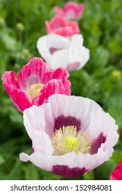 Field with Pink Opium Poppy