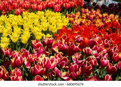 Field with pink and purple tulips