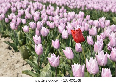 a field of pink tulips with one red tulip