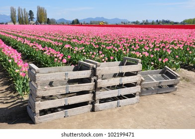 Field of pink tulips with red tulips on the horizon with tulip crates