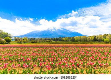 Field of pink tulips in spring season and Mount Fuji as a background on a clear day at Hanano Miyako Park,Yamanashi prefecture,Japan