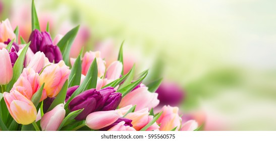field  of pink  and violet tulips  sky  background