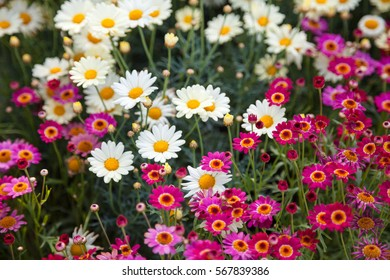 Field of pink and white daisies, colorful flowers