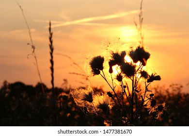 Field plant in the sunset light near the Oka River in the Ryazan region