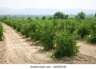 Field with pomegranate bushes.
